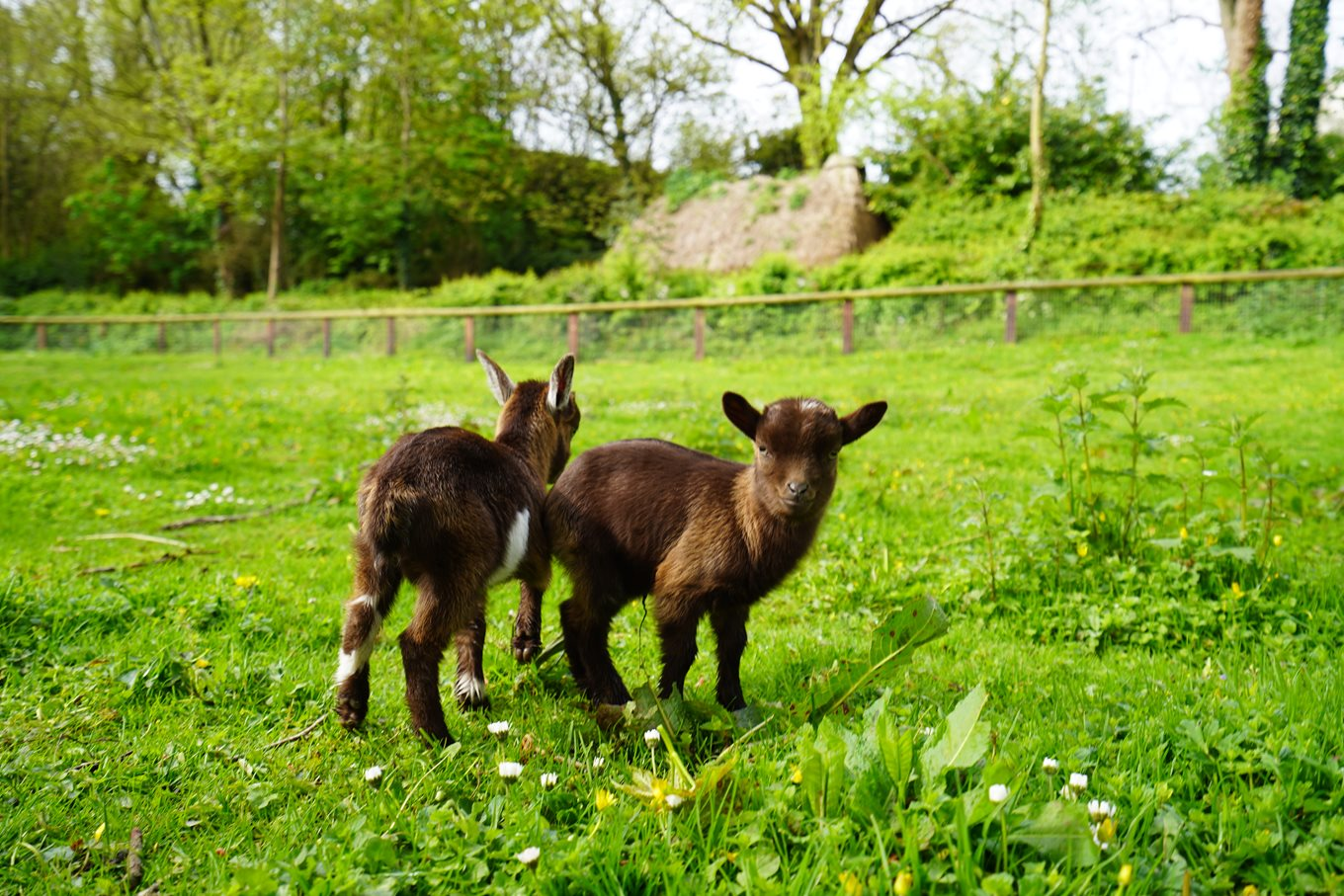 Competition deadline to name Bunratty Castle & Folk Park baby goats extended!